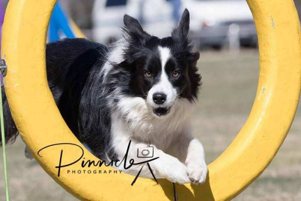 NSW Southern District Country Border Collie Club - Agility Trial - 16 & 17 Sep 2017